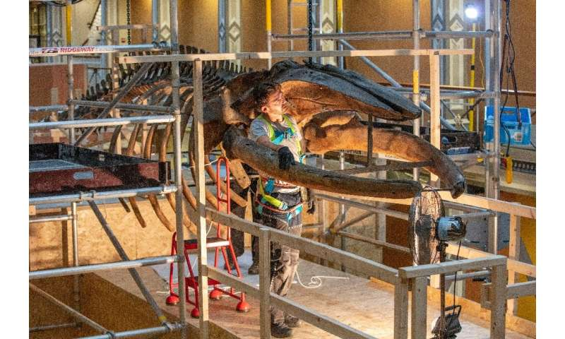 The roof acts as a hanging bracket for the museums' two prize possessions—two whale skeletons