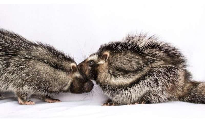 The secret social lives of giant poisonous rats