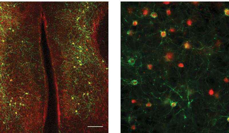 The synchrony between neurons in different brain hemispheres could aid behavioral adaptation