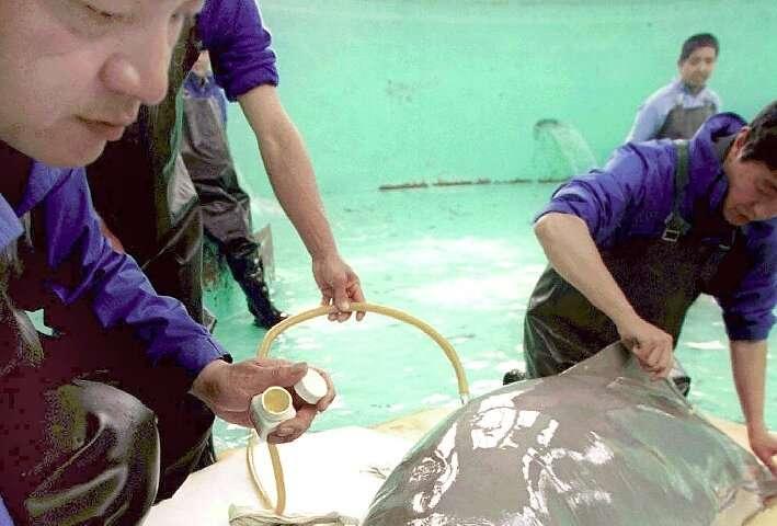 El tucuxi, un delfín gris que se encuentra en el sistema fluvial del Amazonas, ha sido trasladado a la zona en peligro de extinción.  categoría