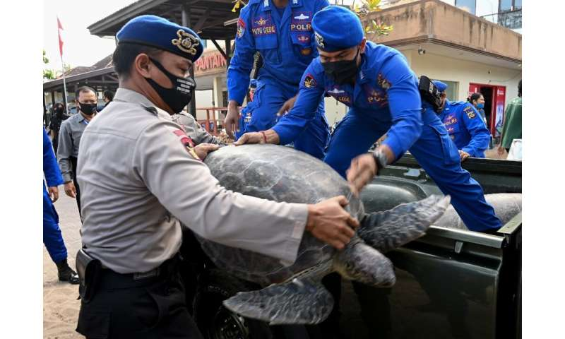 The turtles are taken from a truck to Kuta beach near Denpasar in Bali for release