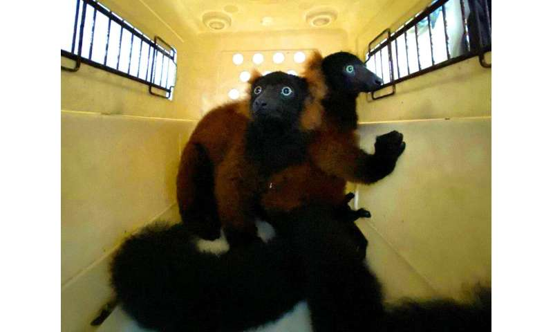 The twin red-ruffed lemurs are moved in a pet-carrier to a vet for check-up in this picture relased by Wildlife Reserves Singapo