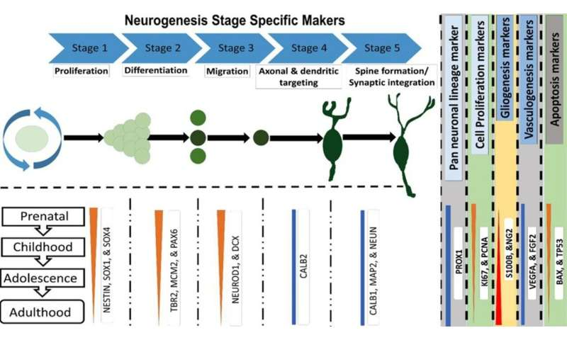 The unyielding dilemma of adult hippocampal neurogenesis in humans: suggesting a resolution and way forward