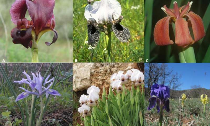 The ur-Iris likely had purple flowers, pollinated by insects for nectar