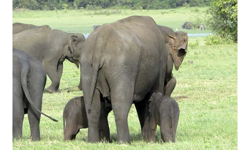 The young tuskers - who rangers estimate are three to four weeks old - were spotted in the Minneriya sanctuary in Sri Lanka