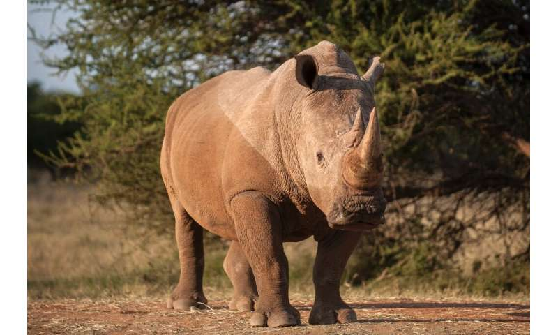 Threatened: Rhinos are major targets for poachers