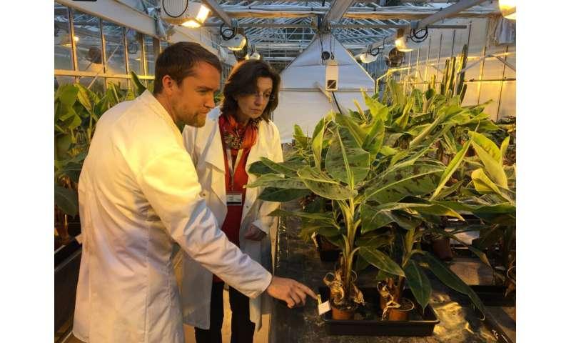 Amenazas a la seguridad alimentaria mundial por los patógenos emergentes de cultivos fúngicos