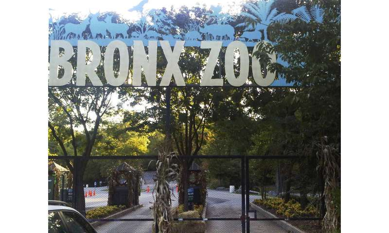 Tiger at NYC's Bronx Zoo tests positive for coronavirus