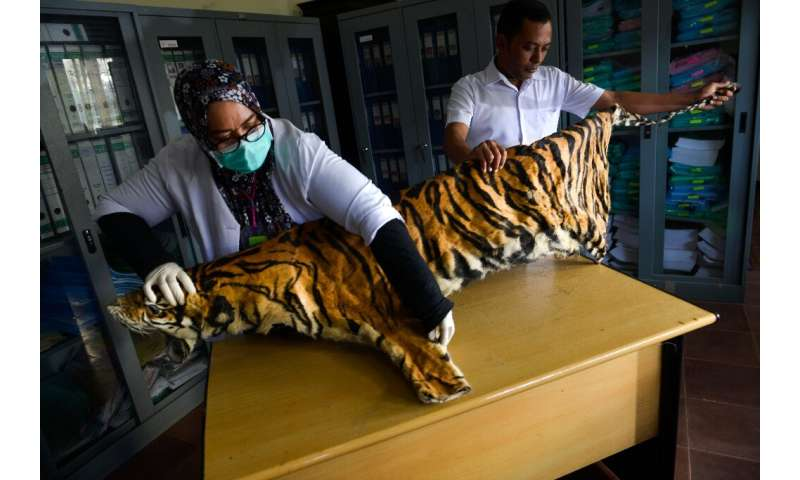 Tiger, pangolin farming in Myanmar risks 'boosting demand'