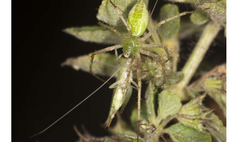 To mate or be eaten: Tree cricket behaviour in the presence of a predator