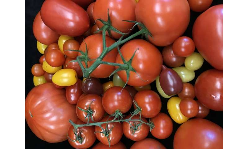 Tomato's hidden mutations revealed in study of 100 varieties