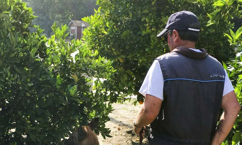 Trained dogs are the most efficient way to hunt citrus industry's biggest threat