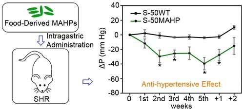 Transgenic rice lowers blood pressure of hypertensive rats