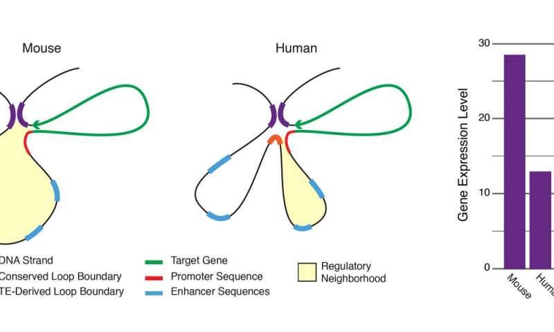 Transposable elements play an important role in genetic expression and evolution