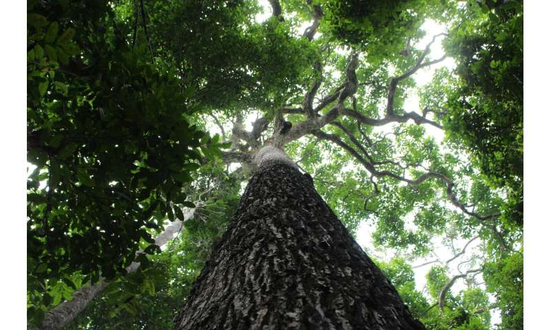 Trees in the Amazon are time capsules of human history, from culture to colonialism