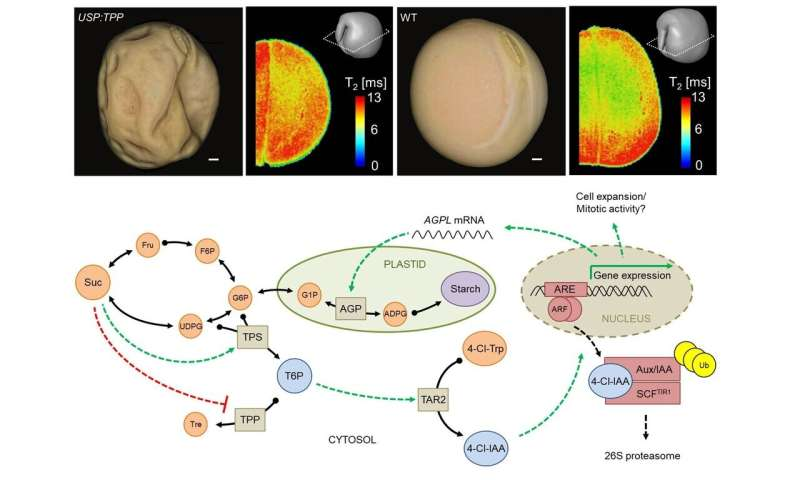 Trehalose 6-phosphate promotes seed filling by activating auxin biosynthesis