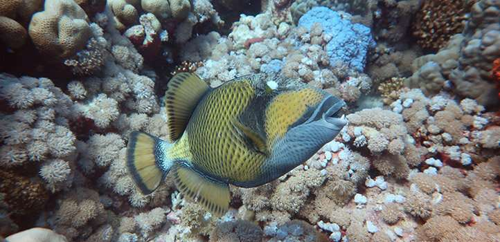 Triggerfish learns to catch more diverse food