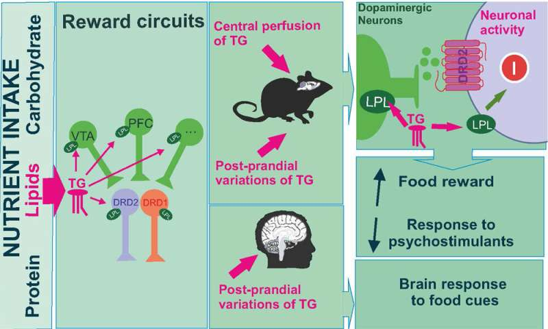 Triglycerides control neurons in the reward circuit