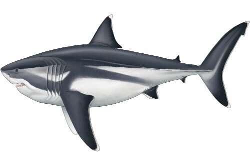 True size of prehistoric mega-shark finally revealed