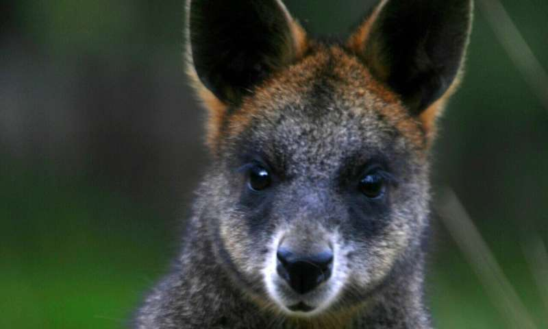 Truffle munching wallabies shed new light on forest conservation