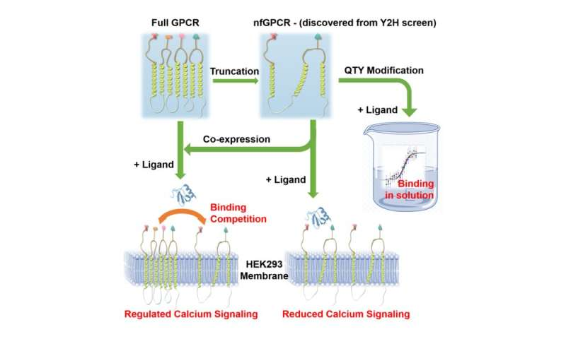 Truncated immune system receptors may regulate cellular activity
