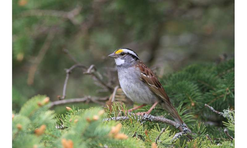 """Twenty-year study tracks a sparrow song that went """"viral"""" across Canada"""