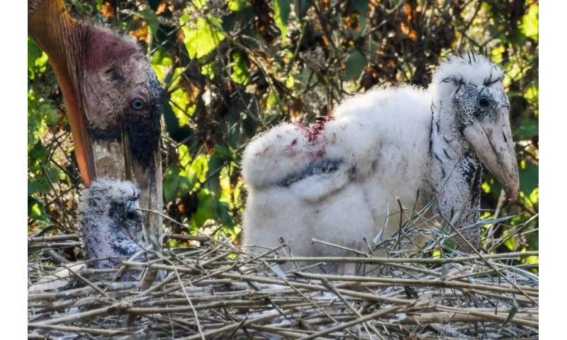 Two Greater Adjutant chicks hatched at a zoo in Assam state