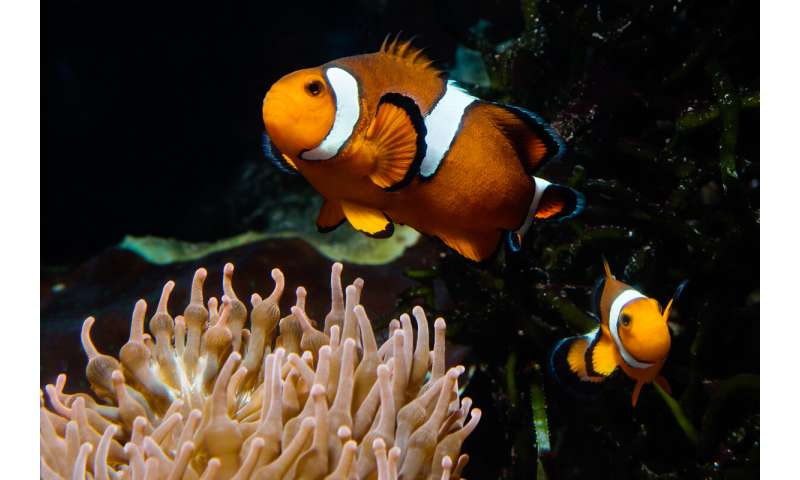 Two hormones drive anemonefish fathering, aggression