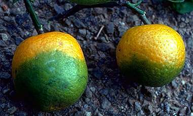 UC Riverside discovers first effective treatment for citrus-destroying disease