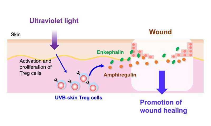Ultraviolet B exposure expands proenkephalin+ regulatory T cells with a healing function