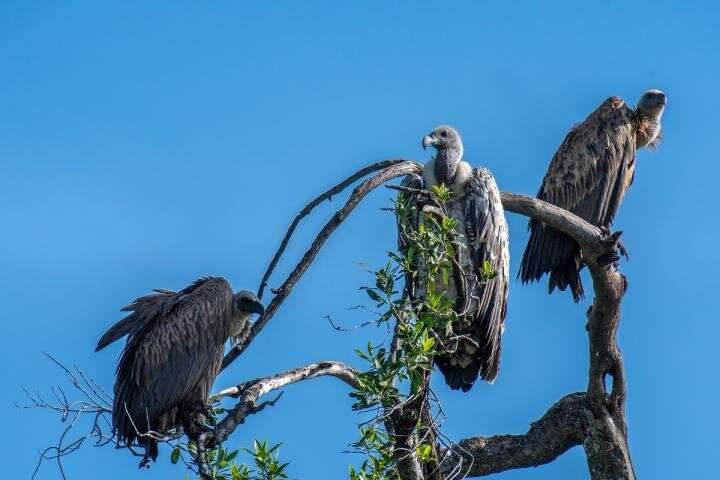 UMD addresses African vulture poisoning with global disease and biodiversity implications