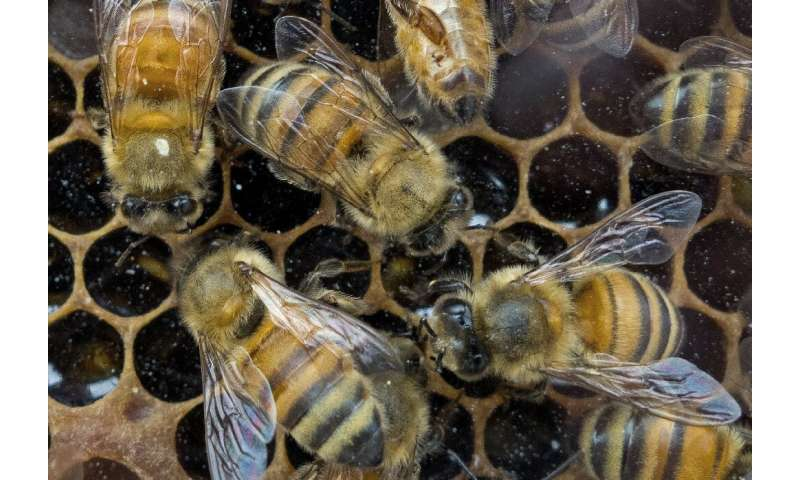 US biologists have now decoded over 1,500 honey bee dances to providing conservation groups trying to boost the imperiled specie