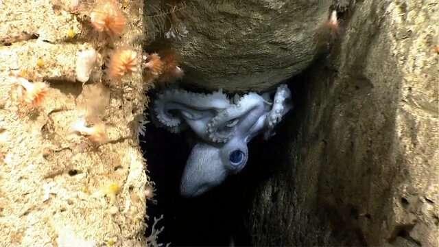 Video: Deep-sea footage helps researchers understand octopod real estate