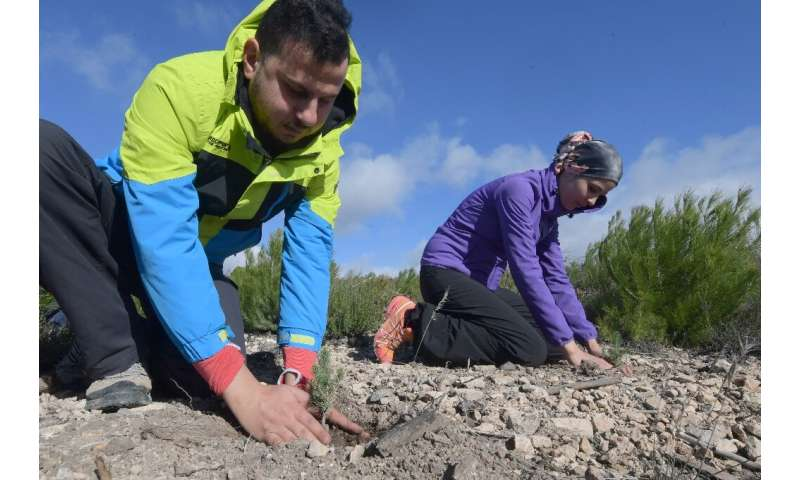 Volunteers aim to revive a burned forest by planting Aleppo pine shoots