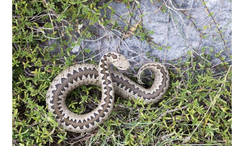 Warming mountaintops put snake at risk of extinction