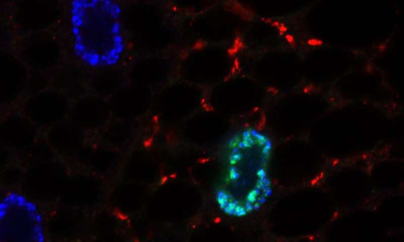Warwick scientists discover how cells respond to fasting