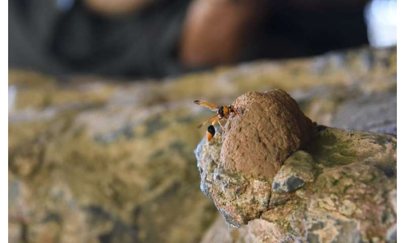 **Wasp nests used to date ancient Kimberley rock art