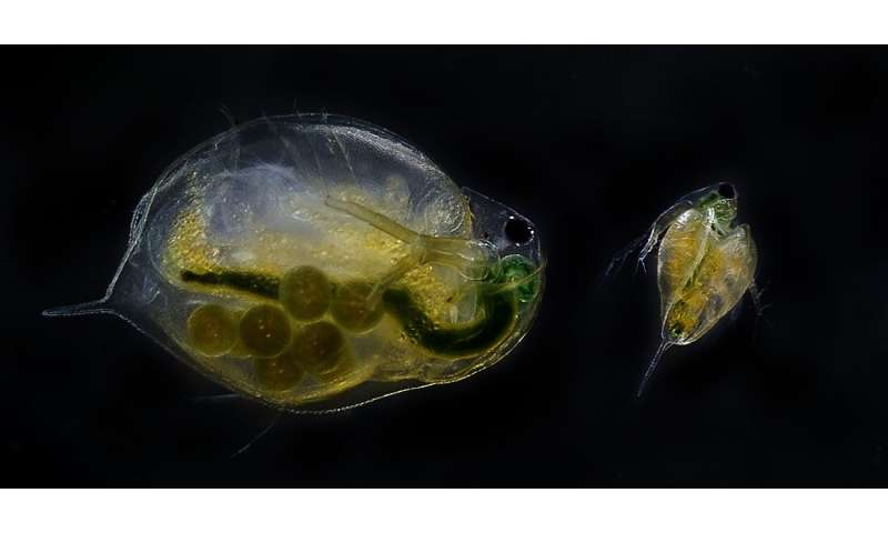 """Water fleas on """"happy pills"""" have more offspring"""