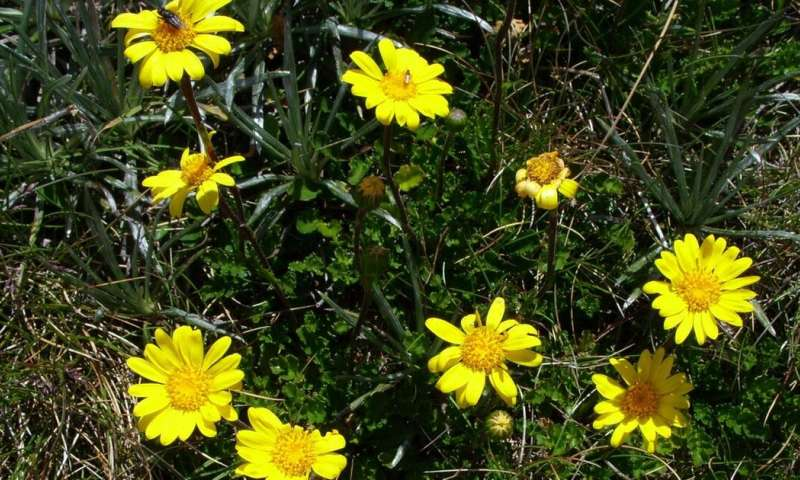 We accidentally found a whole new genus of Australian daisies. You've probably seen them on your bushwalks