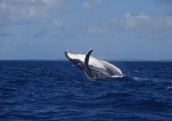 Whale 'snot' reveals likely poor health during migration