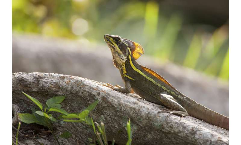 What cold lizards in Miami can tell us about climate change resilience