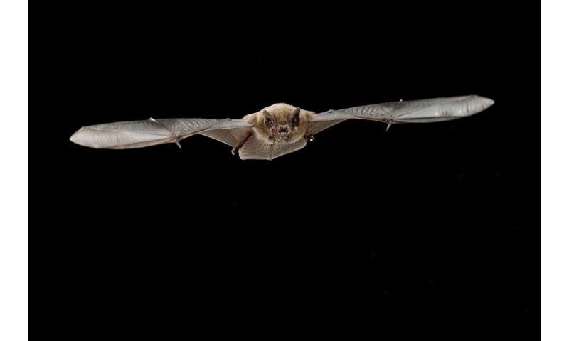 When calling loudly, echolocation is costly for small bats