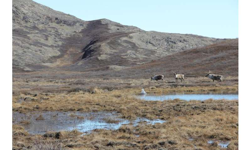 Where are arctic mosquitoes most abundant in Greenland and why?