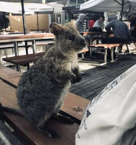 """Where are the quokkas? New study explains what happened to the """"happiest animal in the world"""""""