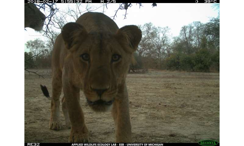 Where lions roam: West African big cats show no preference between national parks, hunting zones