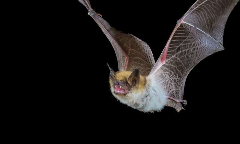 Why bats don't get sick from the viruses they carry, but humans can