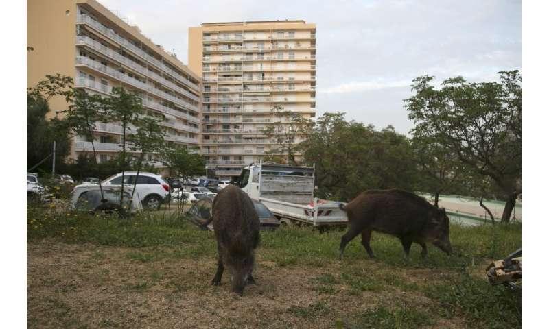 Wild boars eat the grass in a garden close to residential buildings in Ajaccio, Corsica, in April