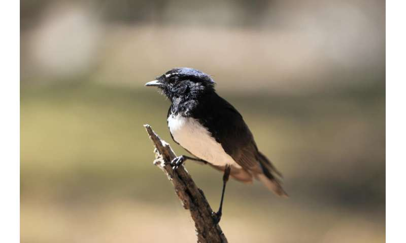 Willie wagtails: The werewolves of the bird world