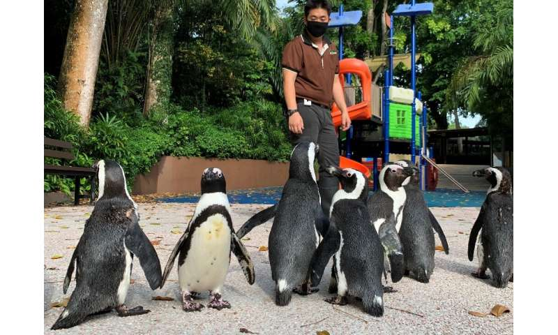 With the zoo closed to the public as Singapore battles a worsening virus outbreak, its African penguins are revelling in the cha
