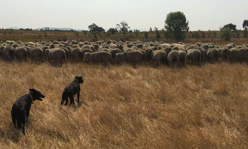 Young California ranchers are finding new ways to raise livestock and improve the land